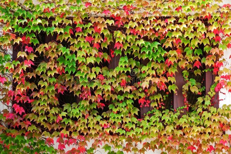 clambering växtfönster för höst arkivfoto
