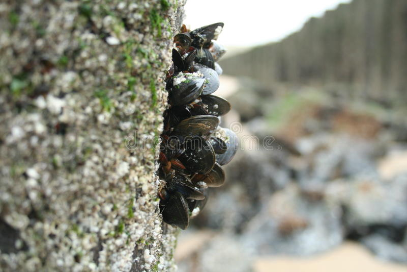 clams stock afbeelding