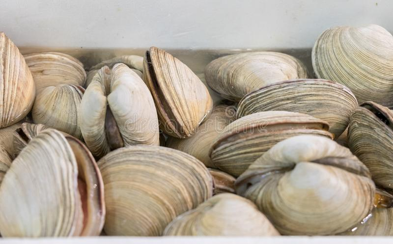 Clams in Nagoya seafood market. Clams for sale at Nagoya seafood market. japan royalty free stock photo