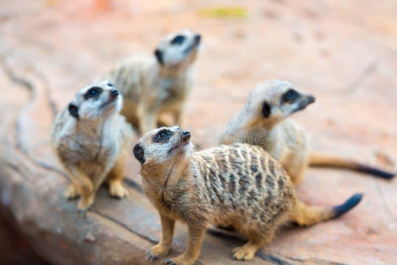 Clan del suricatta del Suricata di Meerkats immagini stock libere da diritti