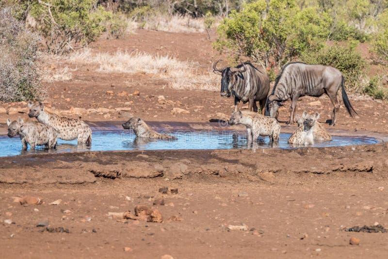 Clan delle iene ad un waterhole con gli gnu fotografia stock