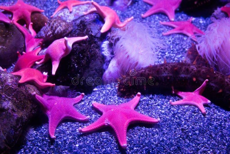 Clan des étoiles de mer au néon photo libre de droits