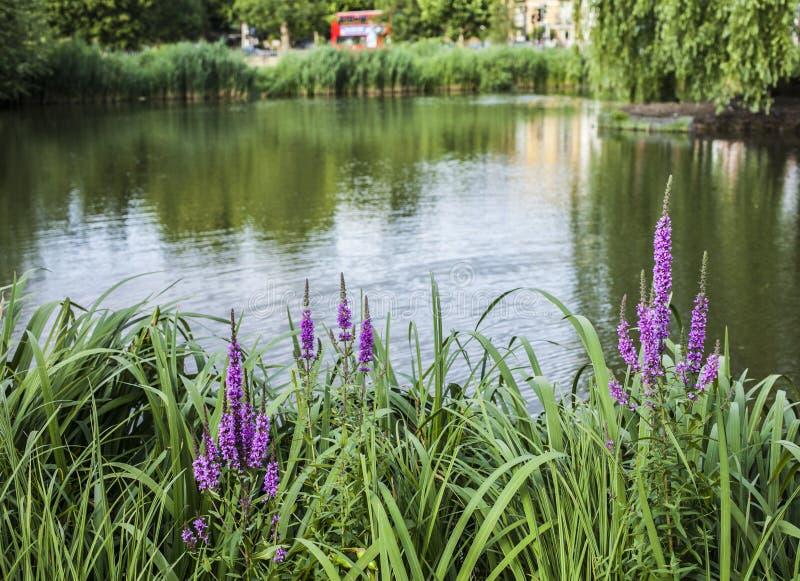 Clapham-Common, London - rosa Blumen lizenzfreie stockfotos