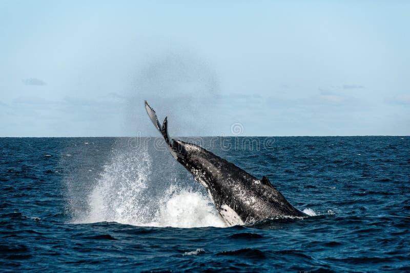 Claquement de queue de baleine images libres de droits