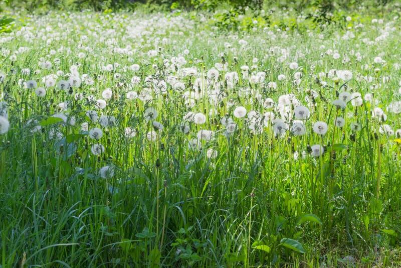 A clareira cobriu a grama e os dentes-de-leão com as cabeças fofos da semente fotografia de stock