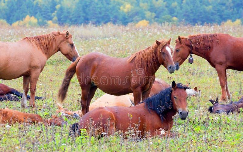 Clareira com um rebanho dos cavalos imagens de stock