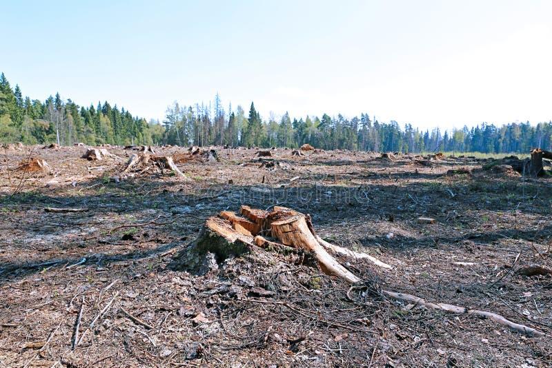 Clareira da floresta após o felling das árvores fotografia de stock royalty free