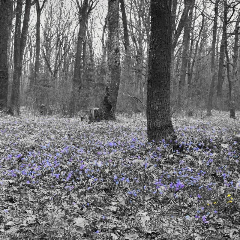 Clareira da floresta da mola de flores cedo Um tapete de Scilla Siberia imagem de stock