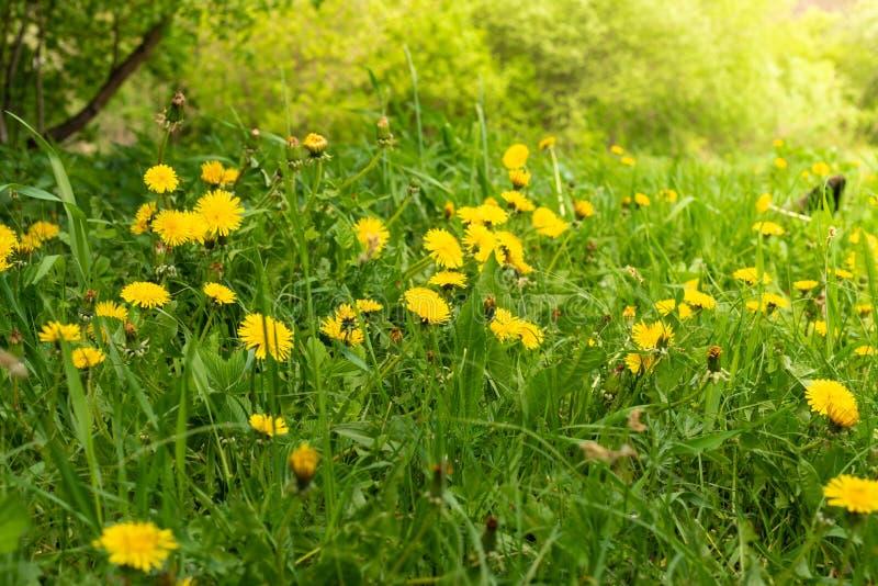 Clareira do dente-de-le?o da mola Muitas flores amarelas, grama e luz morna imagem de stock royalty free