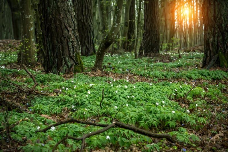 Clareira na floresta com snowdrops no por do sol fotos de stock royalty free