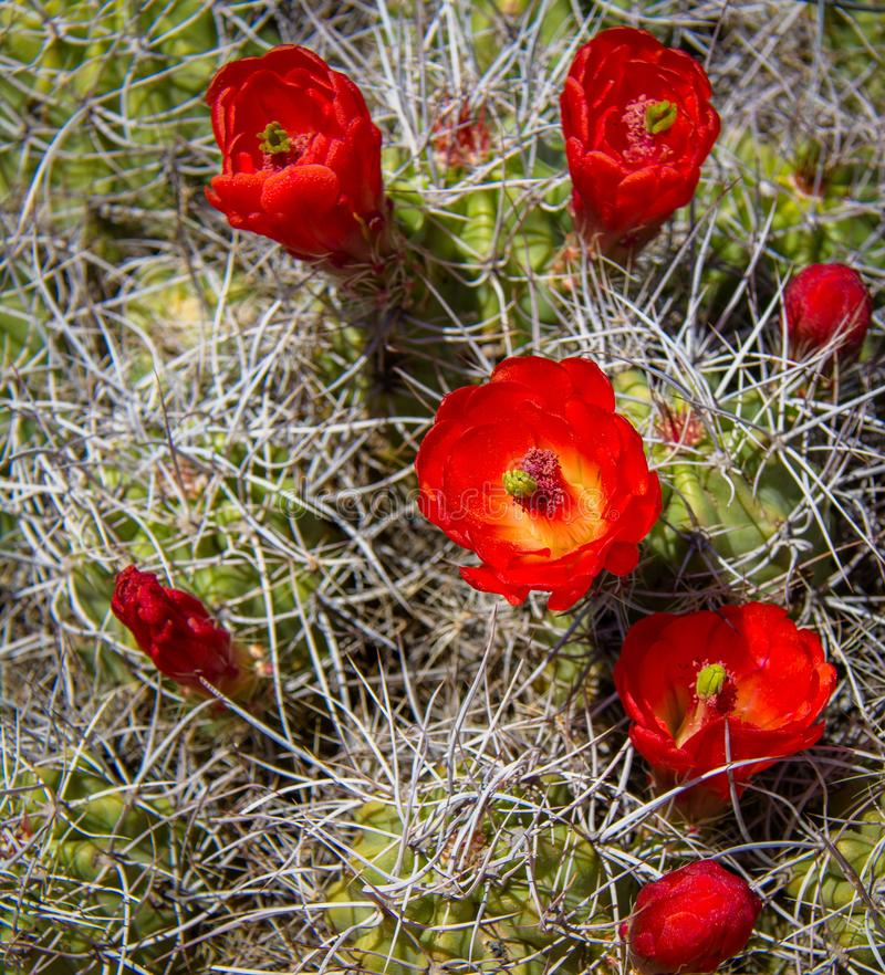 Claret Cup Blossoms. A Claret Cup Cactus, Echinocereus triglochidiatus, also known as a Hedgehog Cactus or a Mound Cactus blooming in the spring sun in the royalty free stock photography