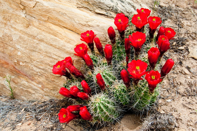 Claret Cup Cactus. Mound of Blooming Claret Cup Cactus stock image