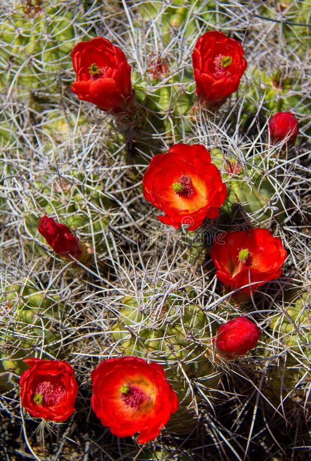 Claret Cup Cactus Bloom. A Claret Cup Cactus, Echinocereus triglochidiatus, also known as a Hedgehog Cactus or a Mound Cactus blooming in the spring sun in the stock photography
