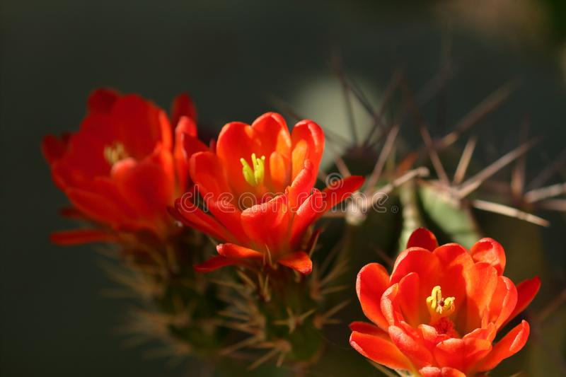 Claret cup cactus, blooming Red flowers. Zoomed picture of Claret cup cactus with blooming red orange flowers, zoomed stock image