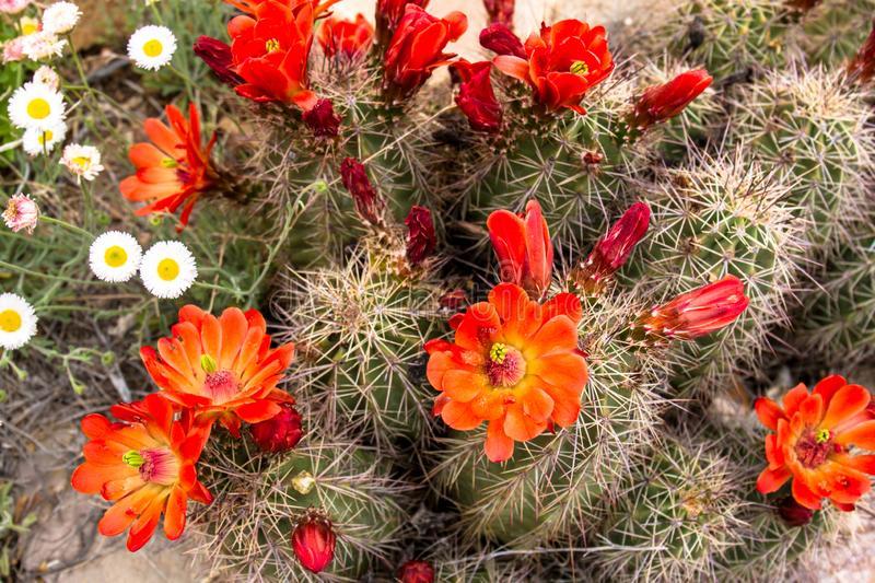 Claret Cup Cactus and other native plants in New Mexico. Claret Cup Cactus mixes with other native plants in Organ Mountains-Desert Peaks National Monument in royalty free stock image