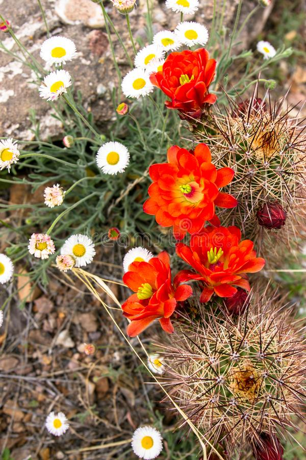 Claret Cup Cactus and other native plants in New Mexico. Claret Cup Cactus mixes with other native plants in Organ Mountains-Desert Peaks National Monument in royalty free stock photography
