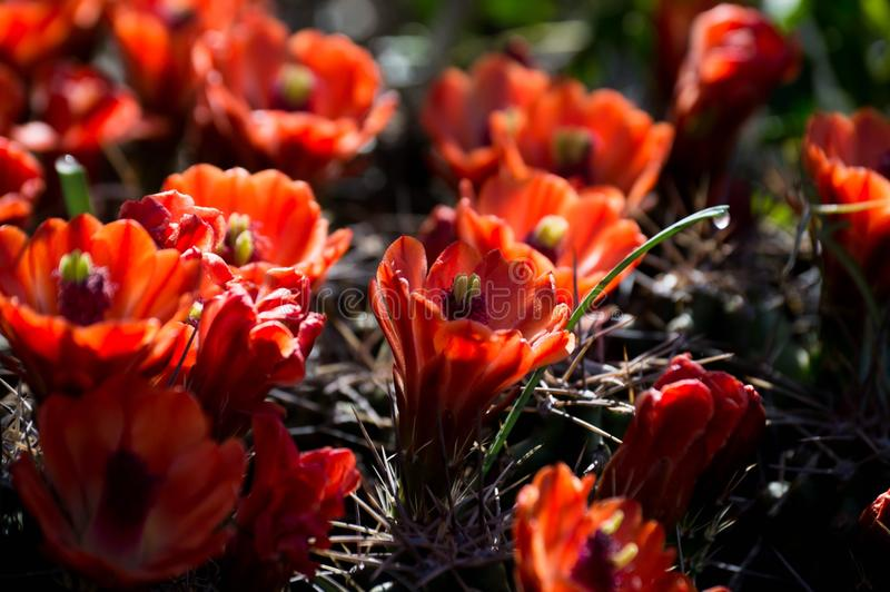 Claret cups. Claret cup cactus flowers stock photography