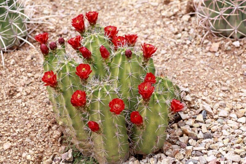 Claret filiżanki kaktus z kwitnącymi czerwonymi kwiatami zdjęcie royalty free