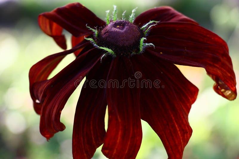 Claret kwiat rudbeckia obraz stock