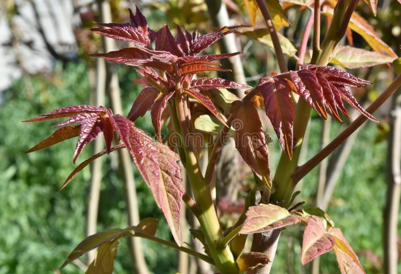 Claret leaves in a sunny day stock images