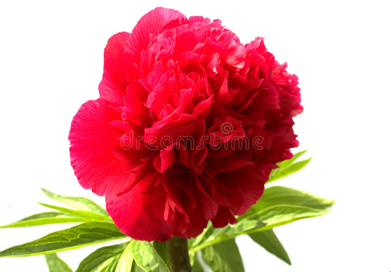 Claret Peony. The claret peony on a white background royalty free stock photography
