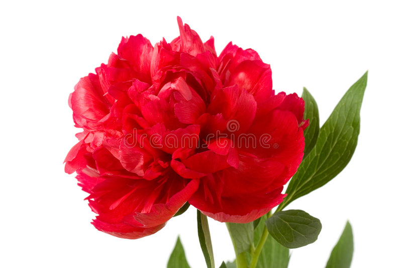Claret peony flower. Claret peony. Close up and isolated on a white background stock images