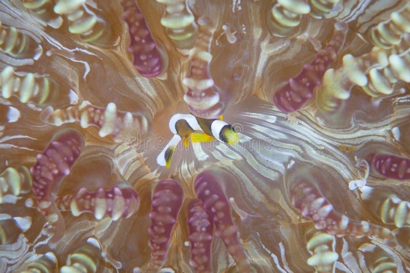 Clark Anemonefish w Lembeh cieśninie, Indonezja obrazy royalty free