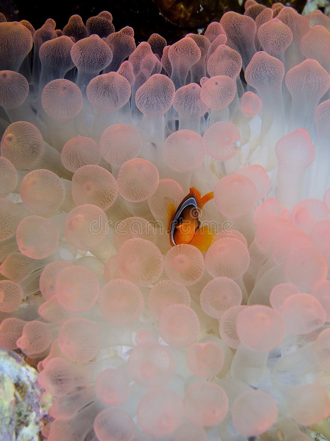 Clark's anemone fish royalty free stock photo