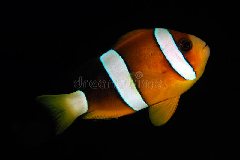 Clark's anemonefish (Amphiprion clarkii) royalty free stock photo