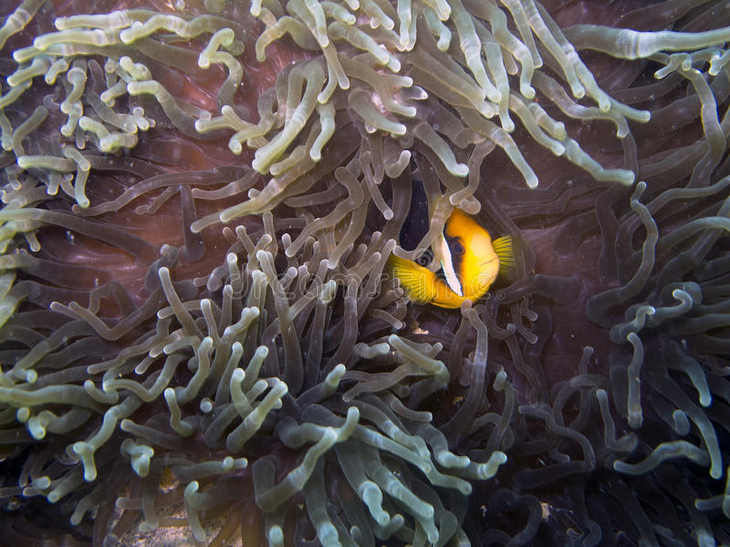 Download Clark's Anemonefish (Amphiprion Clarkii) Stock Photo - Image: 24224780