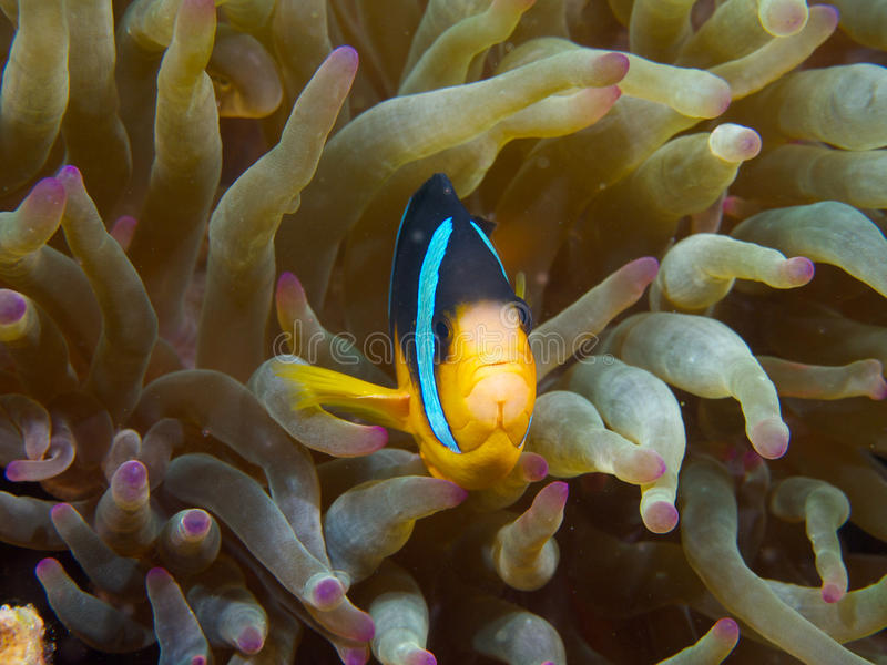Clark's anemonefish. A Clark's anemonefish nestles itself into the protective tentacles of anemone home, Ad Dimaniyat Islands, Oman stock photos