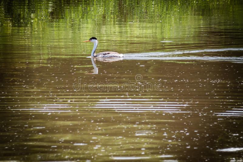 Clark`s Grebe Floating on a Lake stock photos