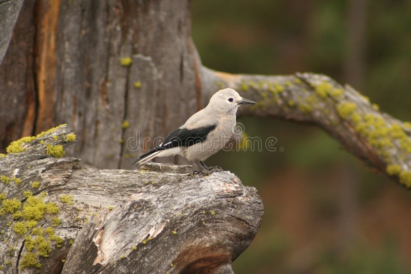 Download Clark's Nutcracker Royalty Free Stock Images - Image: 6230529