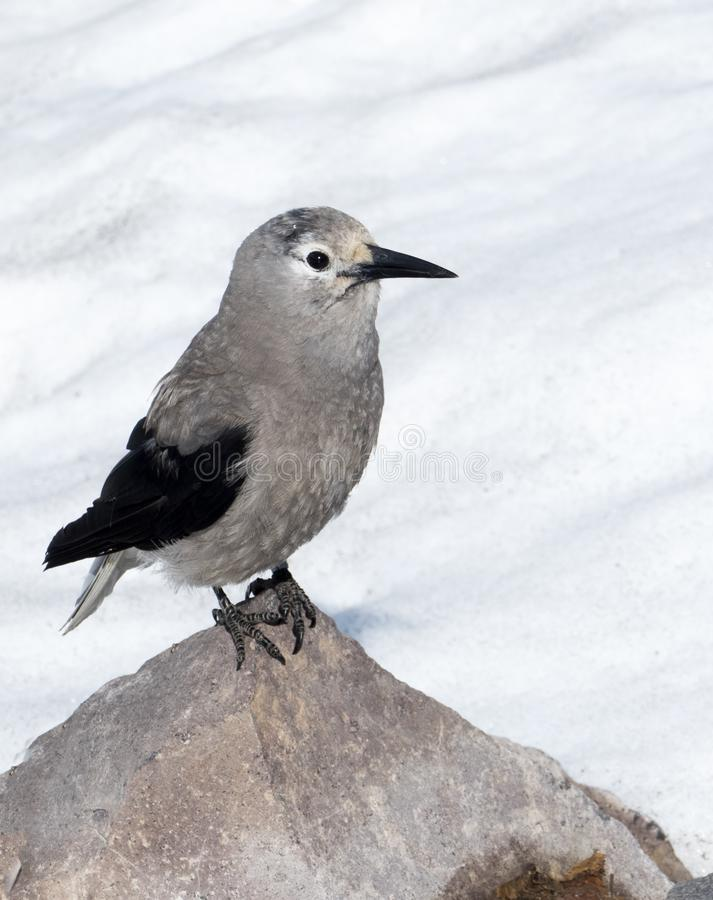 Clark`s Nutcracker Bird at Crater Lake National Park. Gray and black Clark`s Nutcracker bird standing on rock with snow in background. Crater Lake national park royalty free stock photos