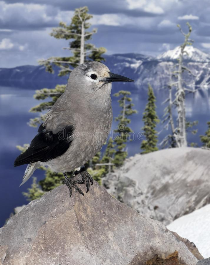 Clark`s Nutcracker Bird at Crater Lake National Park. Gray and black Clark`s Nutcracker bird standing on rock with snow capped mountains, cloudy sky and blue royalty free stock photo