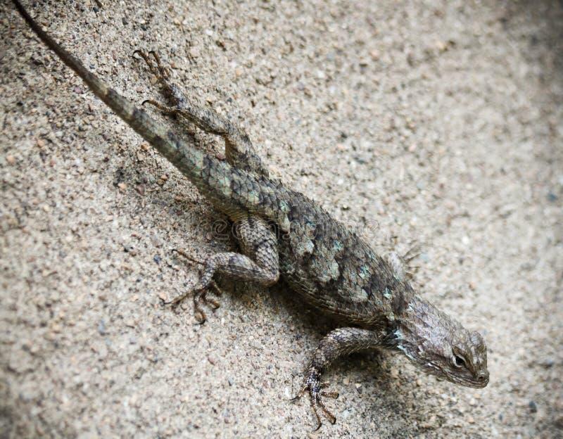 Clark ` s Spiny jaszczurka na ścianie, Sceloporus clarkii zdjęcia royalty free