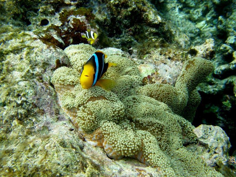 Clarkes Anemone-Clown-Fische in der Teppichanemone stockfoto