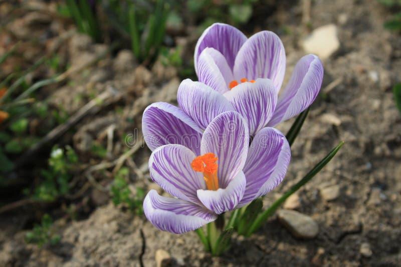 Claro - açafrões roxos na terra Primeiras flores da mola imagens de stock royalty free