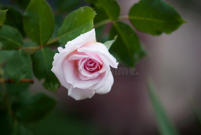 Claro - abertura cor-de-rosa Rosa fotografia de stock