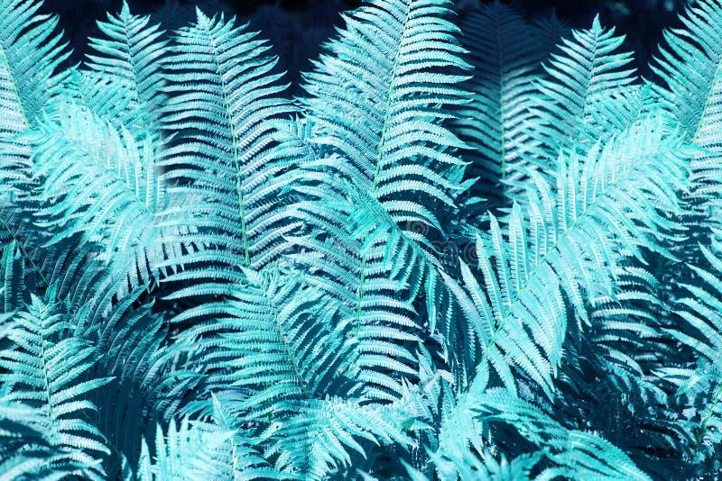 Claro abstrato - fim azul do fundo das folhas da samambaia acima, textura azul fantástica da folha da samambaia da cor, folha tro imagens de stock royalty free