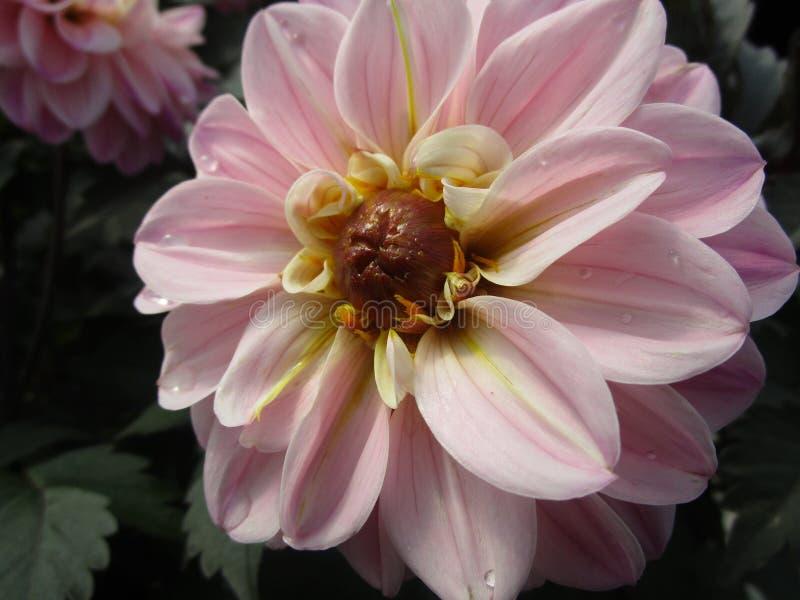 Claro atrativo brilhante - fim cor-de-rosa da flor da dália da primavera acima fotos de stock royalty free