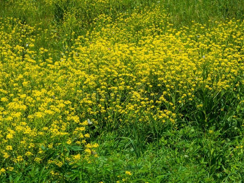 Claro de flores amarillas en un día soleado brillante en Altai imagenes de archivo