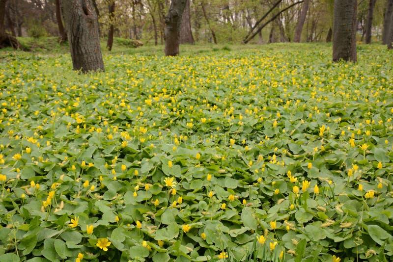 Claro de flores delicadas amarillas en un bosque de la primavera imagen de archivo libre de regalías