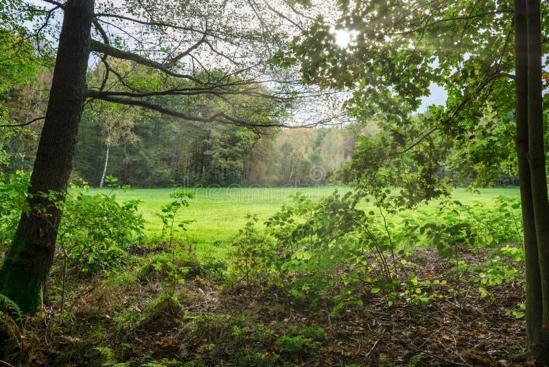 Claro del bosque en la luz del sol fotos de archivo libres de regalías