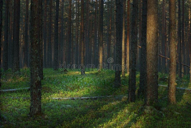 Claro del verano de los lirios del valle en un bosque del pino en la salida del sol fotografía de archivo libre de regalías