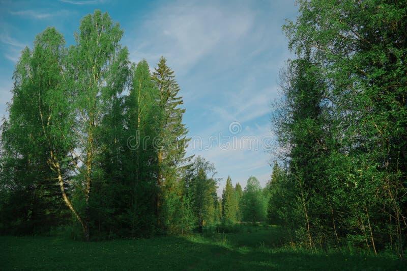 Claro en el abedul de la mañana del bosque, estación foto de archivo