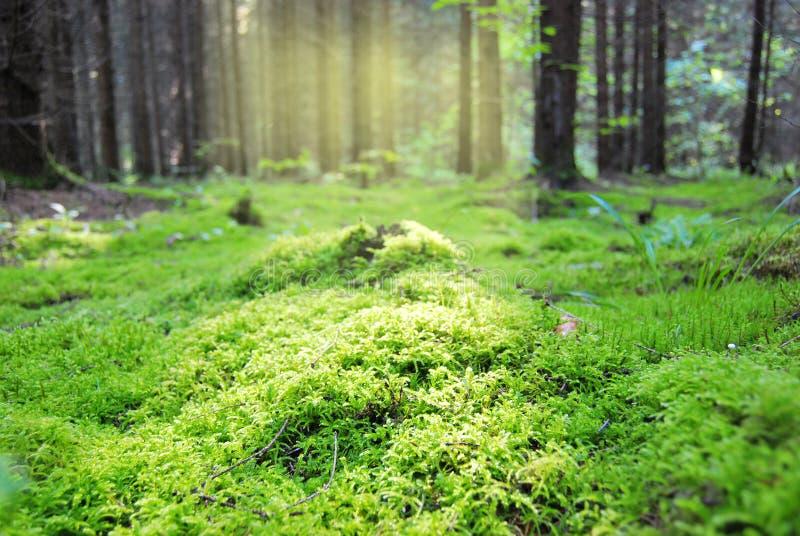 Claro en el bosque, cubierto con el musgo húmedo denso imagenes de archivo