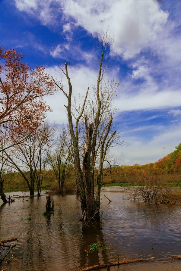 Claro en el bosque después de la lluvia con la hierba verde y árboles en primavera temprana Árboles en agua durante las inundacio imagen de archivo