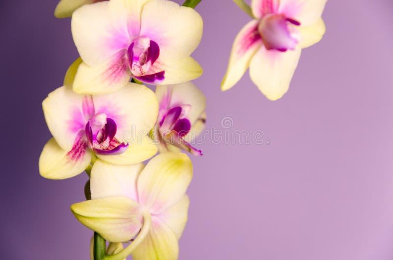 Claro - flores amarelas da orquídea no fundo roxo fotos de stock royalty free