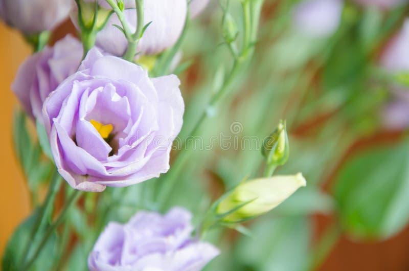 Claro - flores e eustoma roxos dos botões em um fundo borrado fotografia de stock